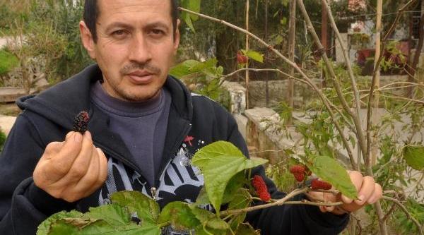 Karadut Fidani, Kiş Ortasinda Meyve Verdi