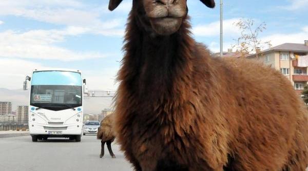 Karayolu Çevresinde Koyun Sürüleri Tehlike Yaratiyor