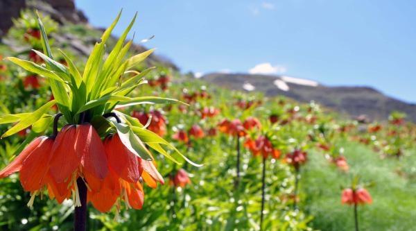 Kato Dağı'nda Ters Lale Festivali Düzenlenecek