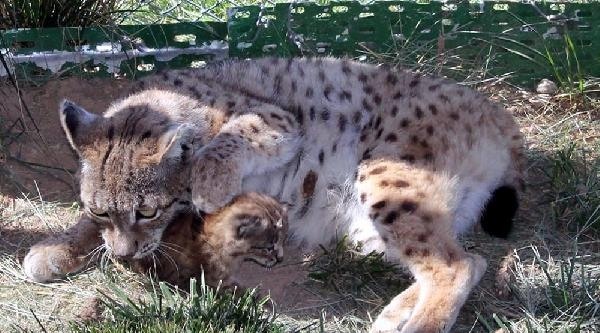Kayseri Hayvanat Bahçesi'nde Yavru Vaşak Heyecanı