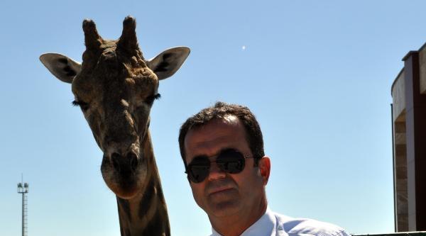 Kayseri Hayvanat Bahçesi'nde Yavru Zürafa Sevinci