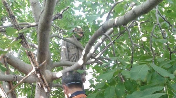 Kendini Ceviz Ağacına Astı