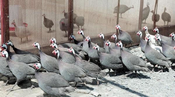 Keneye Karşı Beç Tavuklu Mücadele
