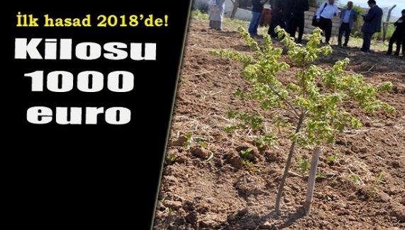 Kilosu bin euro! İlk hasadı 2018'de!