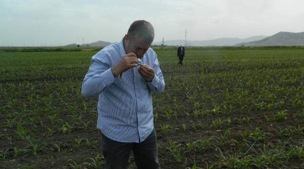Kırmızı Biber Üreticisine 'yaprak Kurdu' Uyarısı