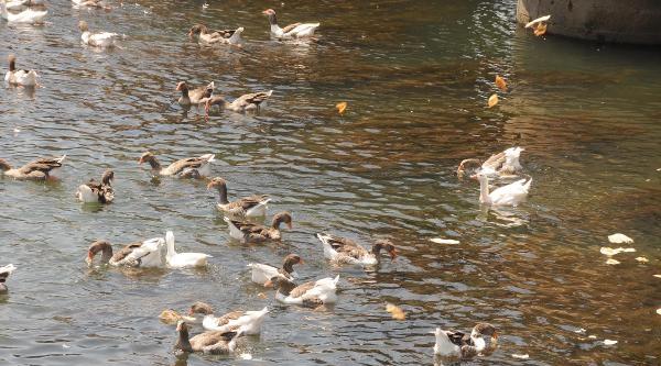 Kızılırmak'ta Ördeklere Yiyecek Desteği