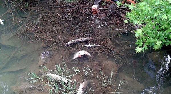 Kocabaş Çayi'nda Toplu Balık Ölümü