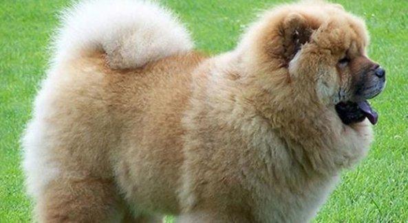 Köpeğini bulana milyon liralık evini verecek