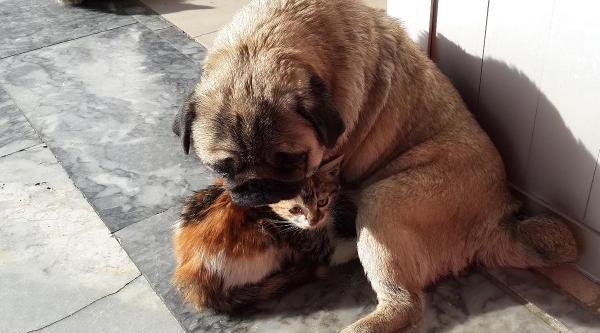 Köpek, Kedi Yavrularina Annelik Yapiyor