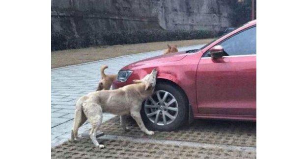 Köpekler arabayı parçaladı!