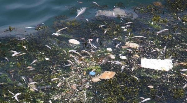 Körfezde Yüzlerce Ölü Gümüş Balığı Kıyıya Vurdu