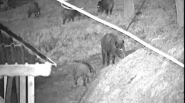 Köy Evinin Bahçesine Doluşan Domuz Sürüsünü Kameralarla Izledi