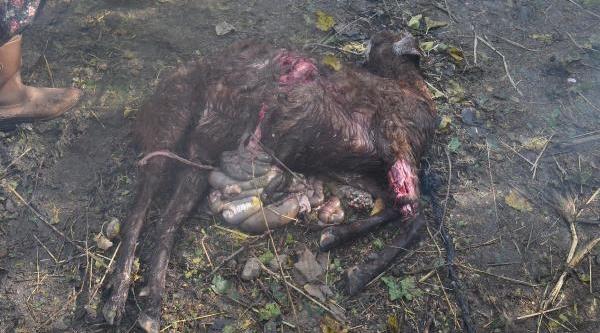 Köyceğiz'de Başiboş Köpekler 2 Keçi, 2 Koyunu Telef Etti