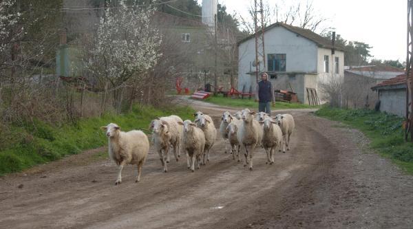 Köyde Kuduz Karantinası (2)