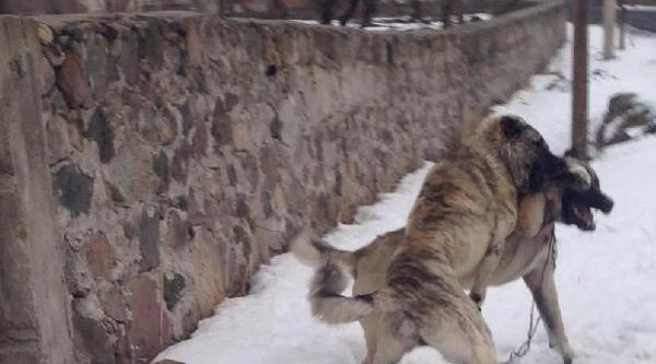 Köylüler Köpek Dövüştürdü
