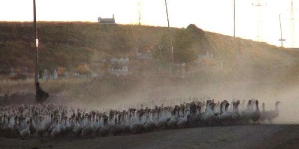 Koyun Değil, Kaz Sürüsü