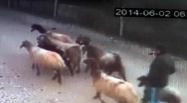 Koyun Hırsızları Kameraya Yakalandı