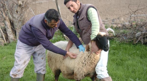Koyun Kuduz Çikti, Köy Karantinaya Alındı