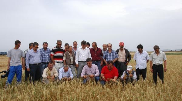 Kuraklığın Vurduğu Çukurova'da Buğday Hasadı Erken Başladı