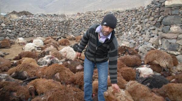 Kurtlar, Ağri Daği Eteklerinde  200 Koyunu Telef Etti