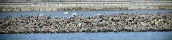 Kuş Cennetinde 6 Bin Flamingo Yavrusu