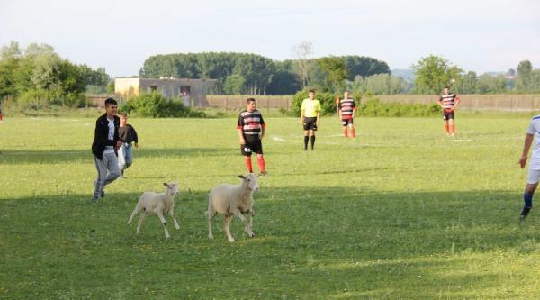 Kuzular Sahaya Girince Futbol Maçı Durdu