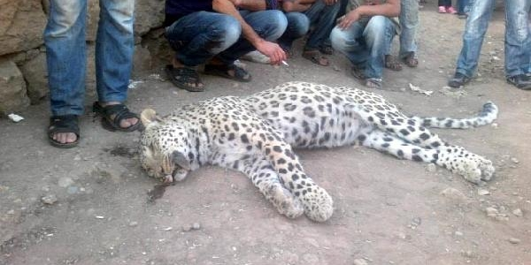 Leopar Daha Önce De Tabancayla Vurulmuş