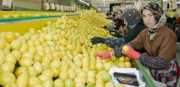 Limon Altın Çağini Yaşıyor