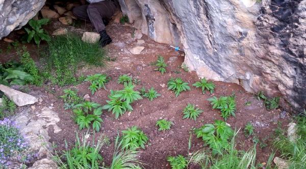 Mağarada Hintkeneviri Yetiştiriyormuş