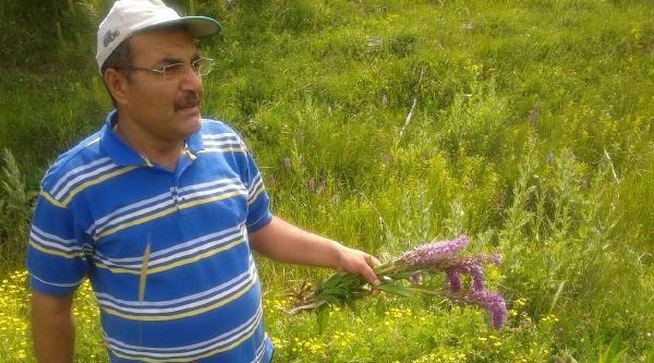 Maraş Dondurması İçin Orkideler Tahrip Ediliyor