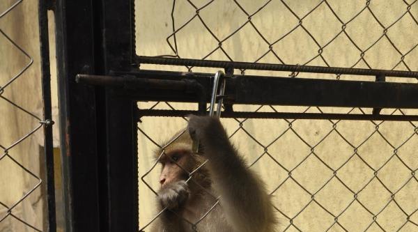 Maymun Çiko Yeni Arkadaşlarıyla