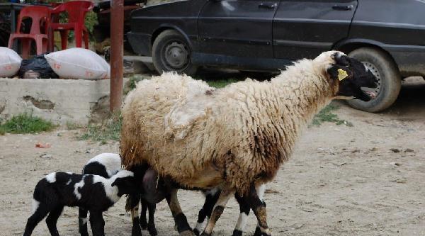 'menekşe' Koyun Beşiz Doğurdu