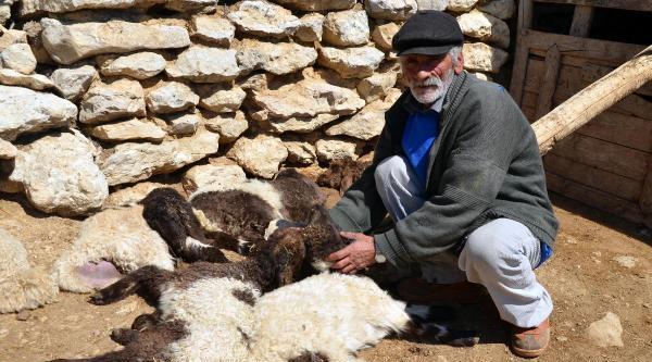 Mersin'de 100 Kuzu Hastalıktan Telef Oldu