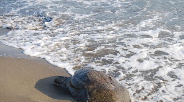 Mersin'de 12 Ölü Caretta Caretta Sahile Vurdu