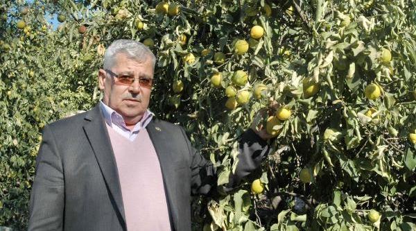 Mersin'de Narenciye Bahçeleri Don Vurdu