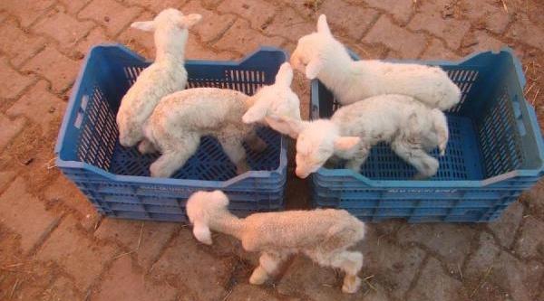 'meryem' Koyun Beşiz Doğurdu