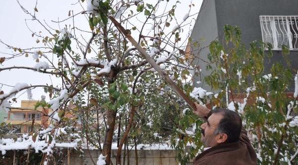 Meyve Veren Armut Ağaci Şaşirtti