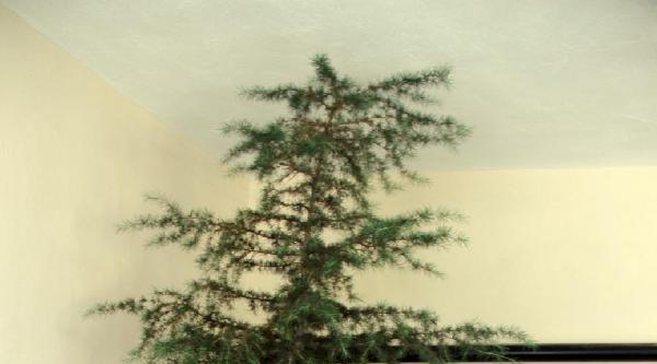 Mutfakta 2.5 Metrelik Çam Ağacı