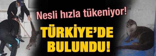 Nesli hızla tükeniyor! Türkiye'de bulundu!