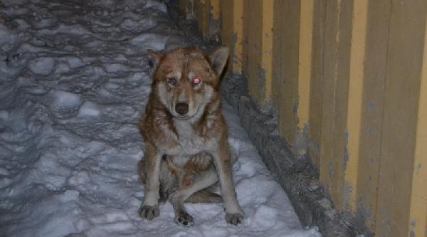 Okul Bahçesindeki Donmak Üzere Olan Aç Ve Yarali Köpek Kurtarildi