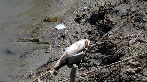 Ölü Balıkların Acıçay'a Atılmasına Tepki