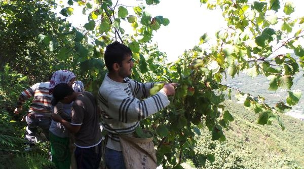 Ordu Ziraat Odası: Suriyeliler Fındıkta Çalişamaz