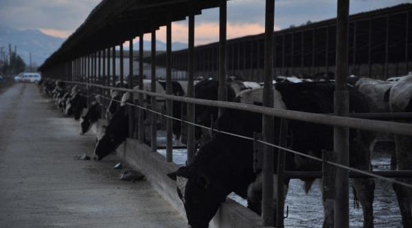 Organik Kirmizi Et Ve Süt Üretiyor