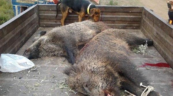 Orhangazili Avcilar 2 Yaban Domuzu Vurdu