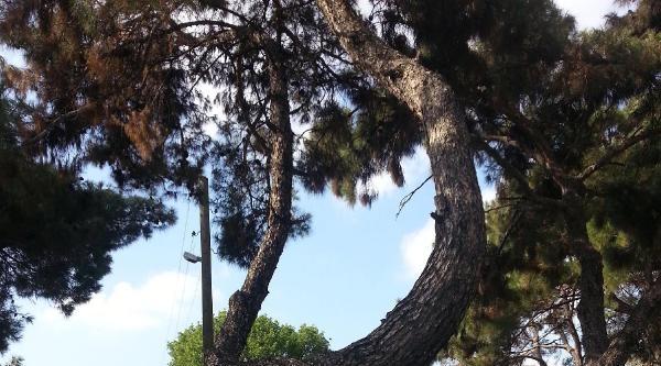 Ormancıdan Kuruyan Ağaç Tepkisi