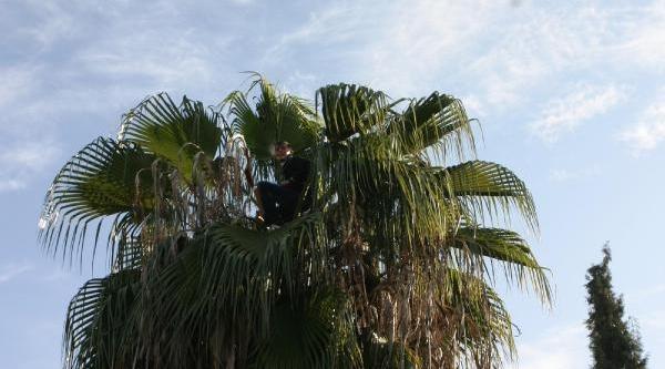 Palmiye Ağacinda Mahsur Kaldi