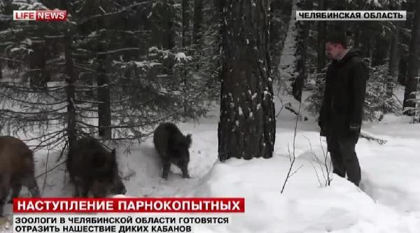 Rusya'da Aç Kalan Yaban Domuzları Yerleşim Yerlerinde Elle Beslendi