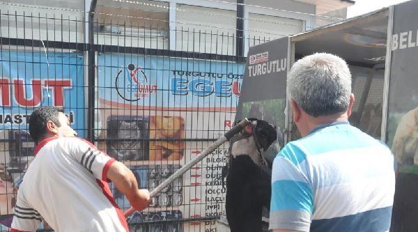 Sahibi Tarafından Terkedilen Pıtbull, Saldırdığı Sokak Köpeğini Yaraladı