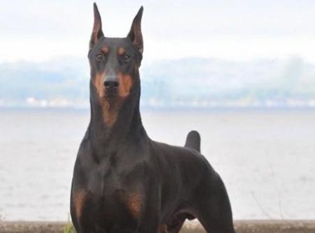 Sahibinin kanser olduğunu teşhis eden köpek!