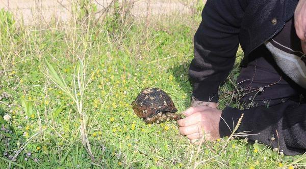 Sazlıkta Çikan Yangında Kaplumbağa Telef Oldu